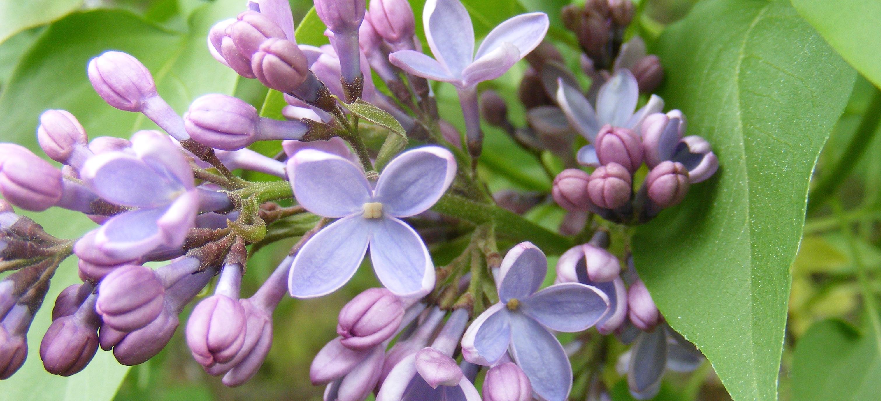 Lilacs - Version 2